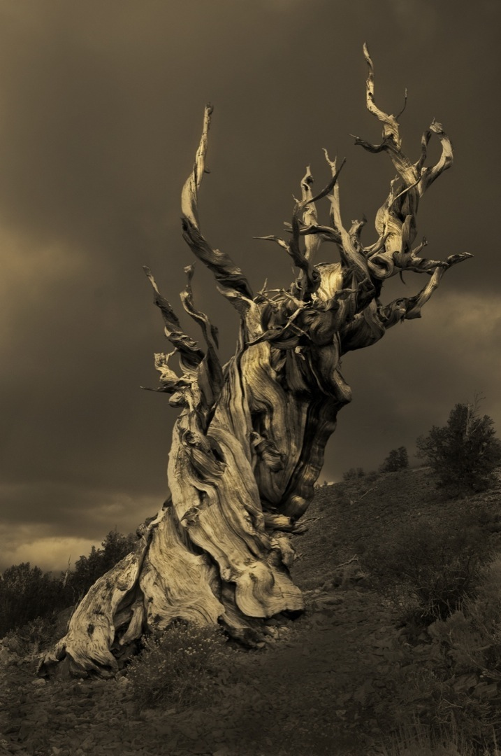 bc-pines-6358_bronzetone-1080