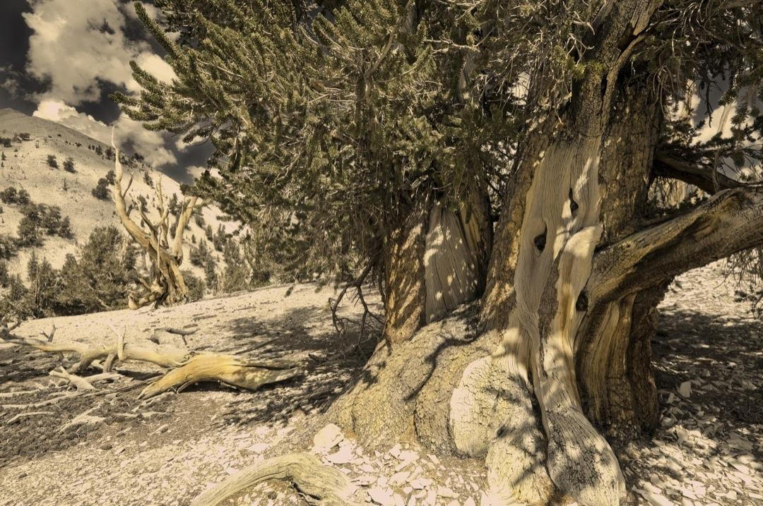 bc-pines-6401-bronzetone-final-1080