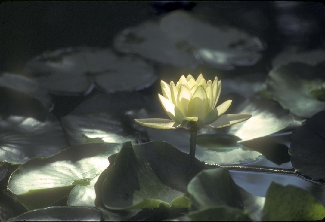 lotus-4-1080