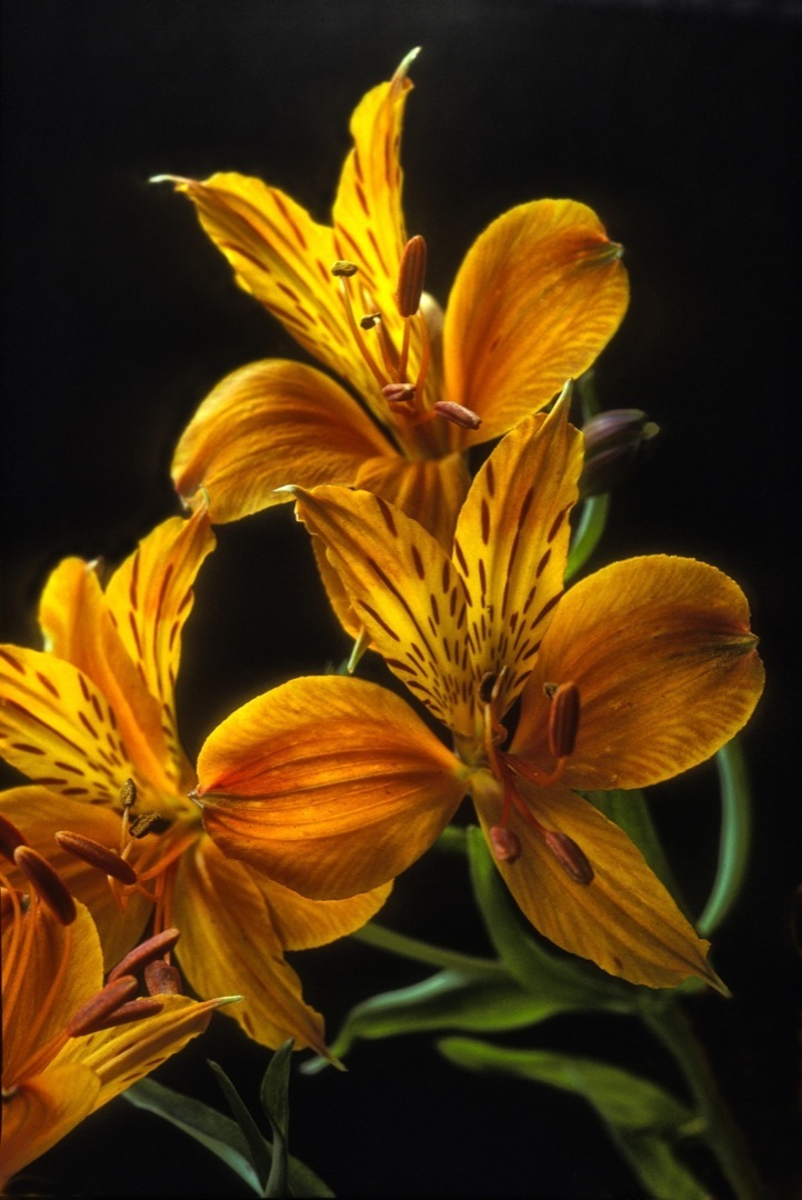 peruvian-lilies-1-final-1080