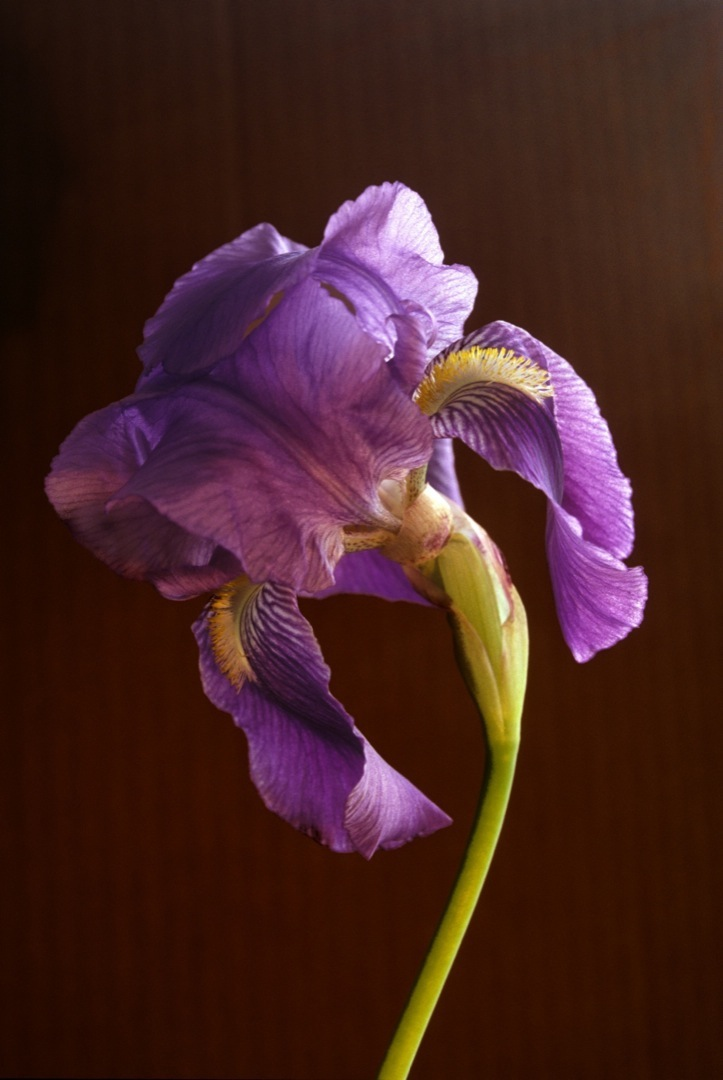 purple-bearded-iris-1080