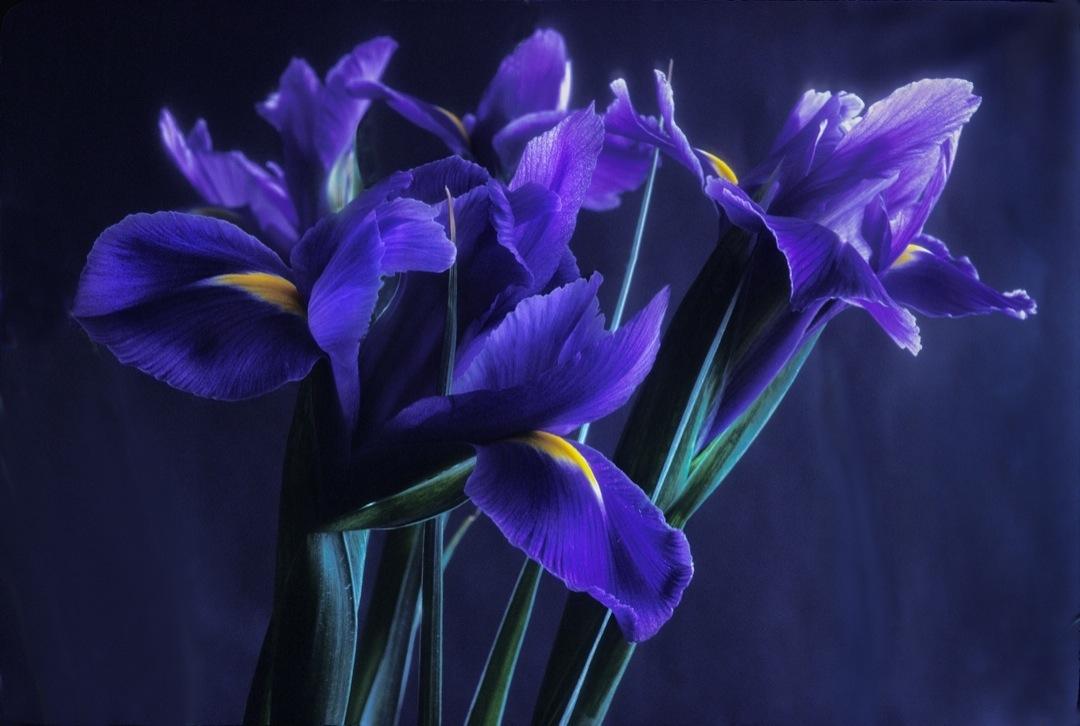 purple-iris-2-final-1080