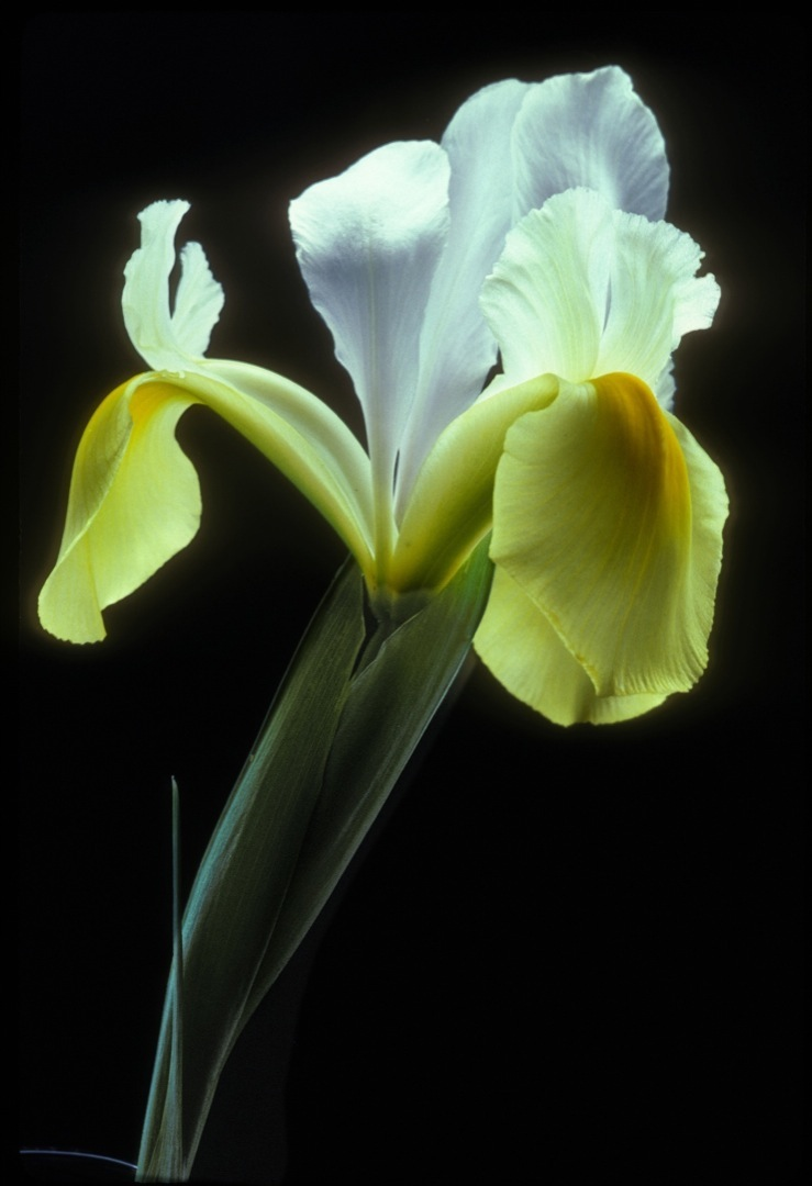 white-yellow-iris-1-1080