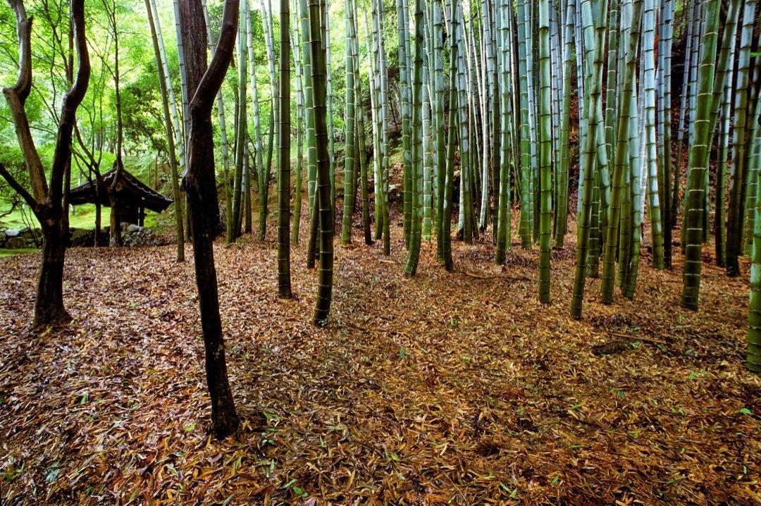saihoji-bamboo-v-1080