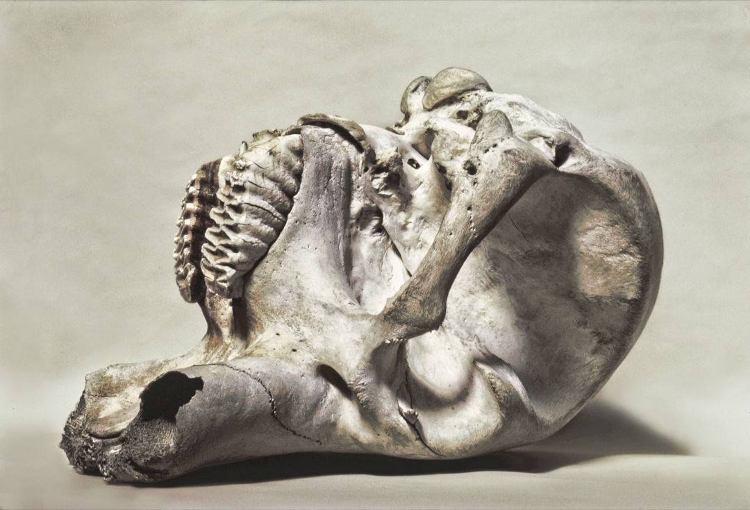 elephant-skull-10-1080
