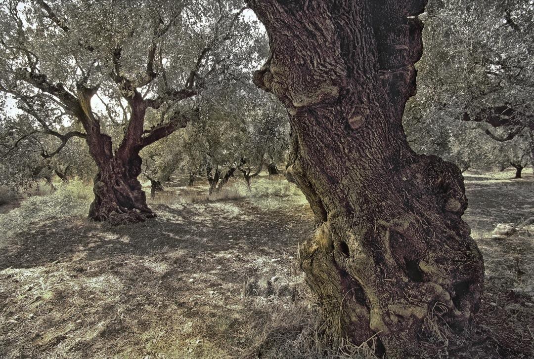 89-greece-olive-tree-final-1080