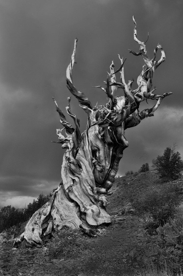 bc-pines-6358_bw-copy-1080