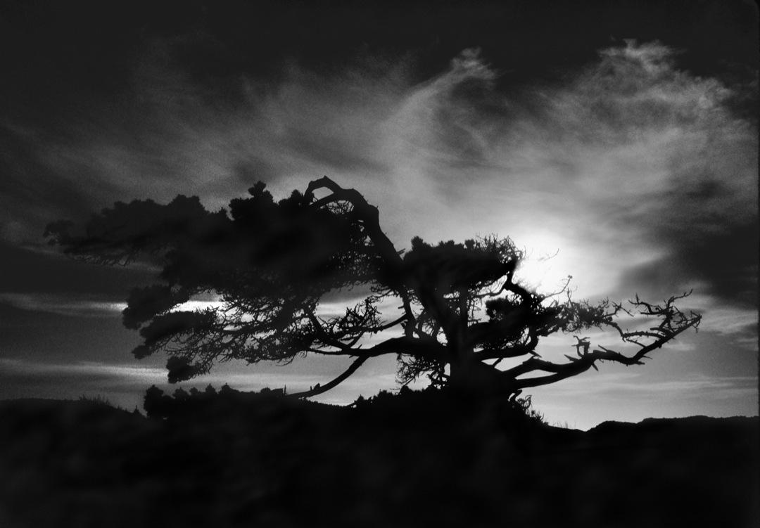 monterey-tree-3-bw-final-1080