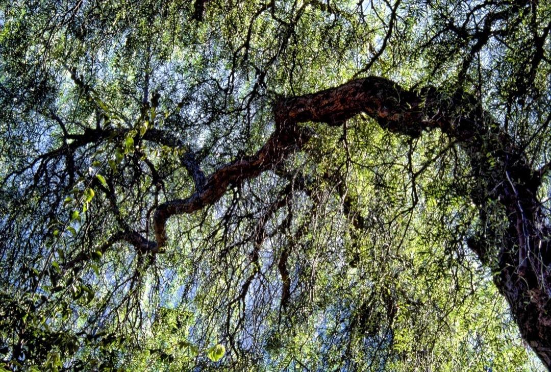 santa-barbara-tree-6-final-1080